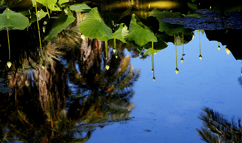 Lotus Pond in Reflection