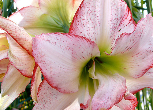 Photo Saturday: Christmas Amaryllis