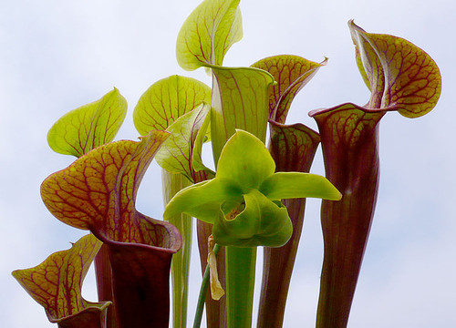 Photo Saturday: The Carnivorous Sarracenia