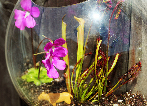 Carnivorous Plants in Hanging Terrariums