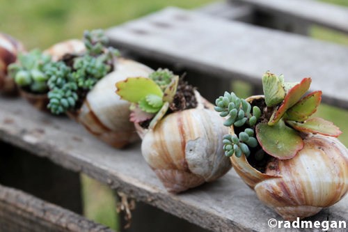 Miniature Gardens Shell Potted Succulents Radmegan