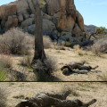 photo+saturday-+joshua+tree+copy