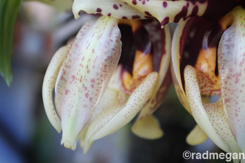 Photo Saturday: Blooming Stanhopea