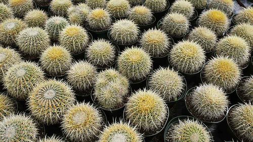 Photo Saturday: Barrel Cactus Field